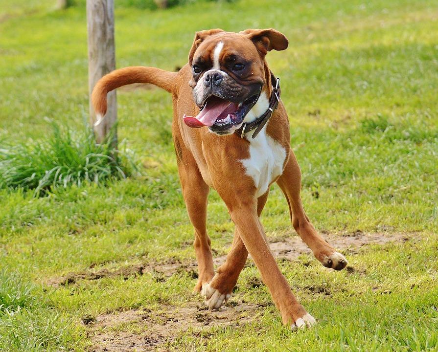 Boxer Dogs, Dogs, Good Aiderbichl, Sanctuary