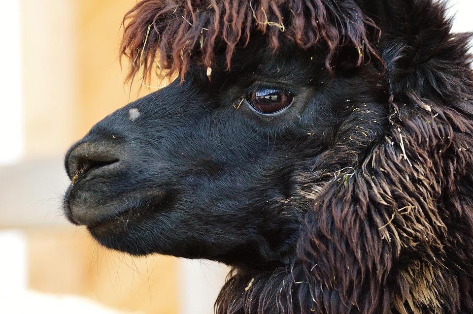 Lama, Animals, Cute, Good Aiderbichl, Sanctuary