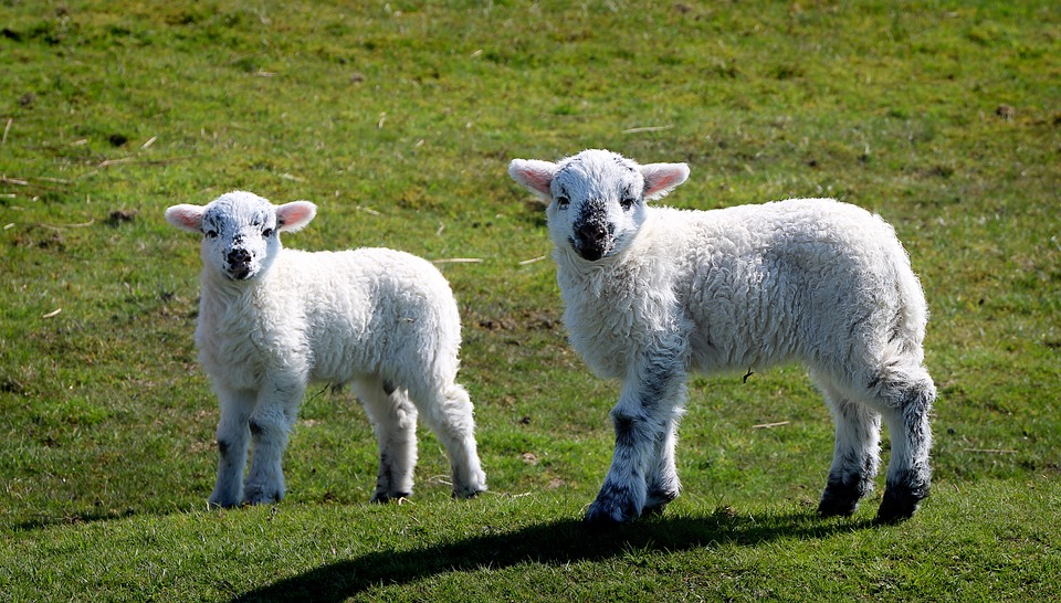 free photo good lambs young lamb sweet wool schäfchen sheep max pixel