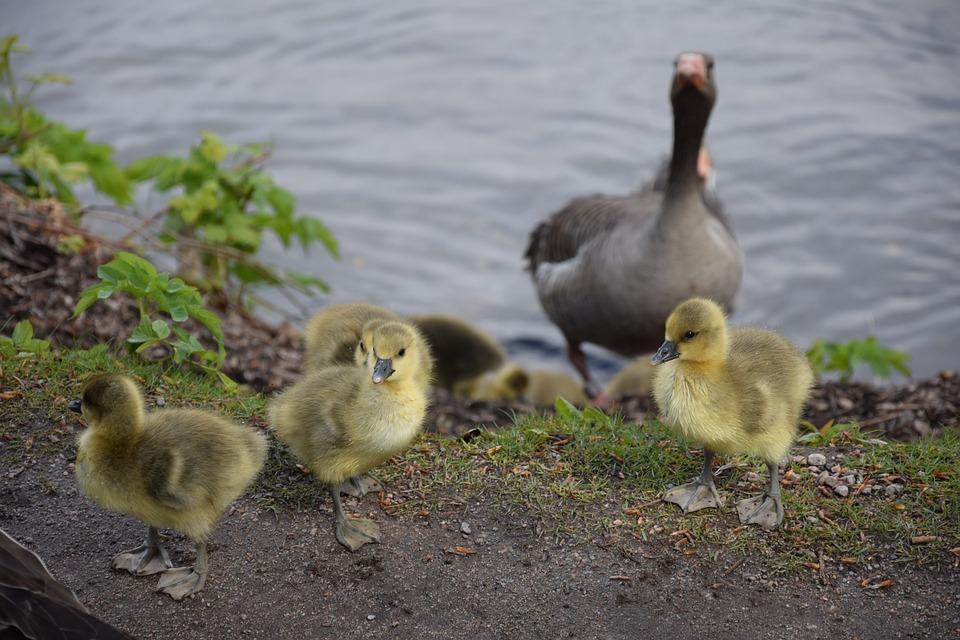 Chicks, Geese, Bird, Goose, Animal, Wild Goose