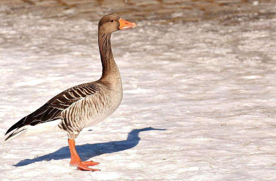 Goose, Wild Goose, Stand, Bird, Water Bird, Nature