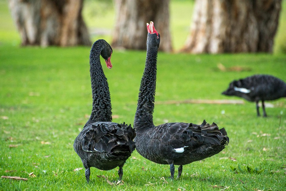 Black Swan, Swan, Goose, Bird, Dance, Couple, Pair