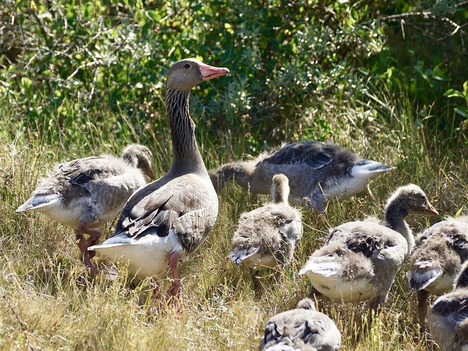 Goose, Greylag Goose, Wild Goose, Family, Chicks