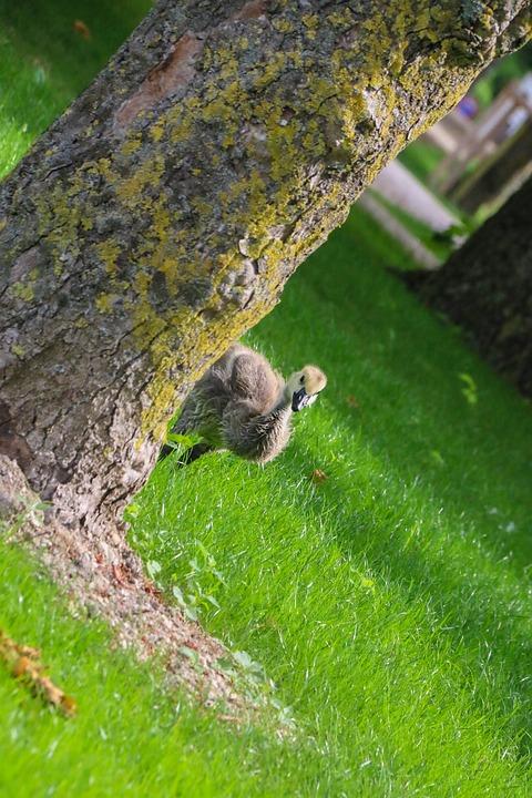 Baby, Goose, Nature, Bird, Gosling, Geese, Cute, Chicks