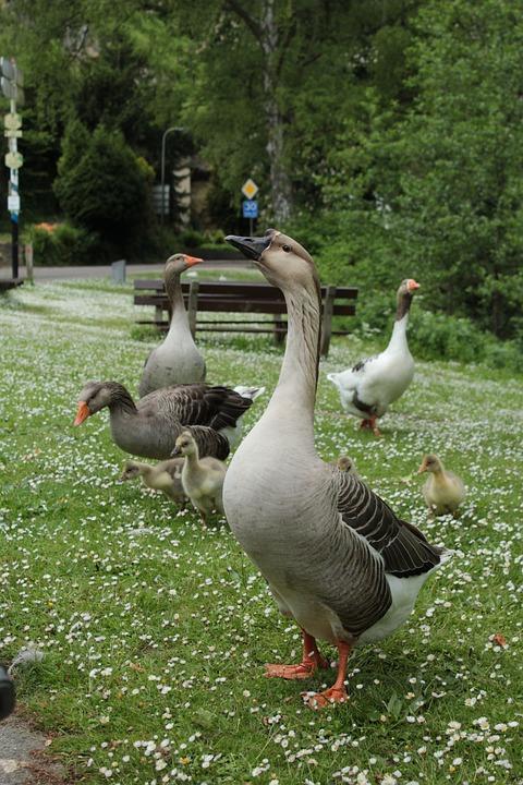 Goose, Bird, Waterfowl, Animal World, Geese, Plumage
