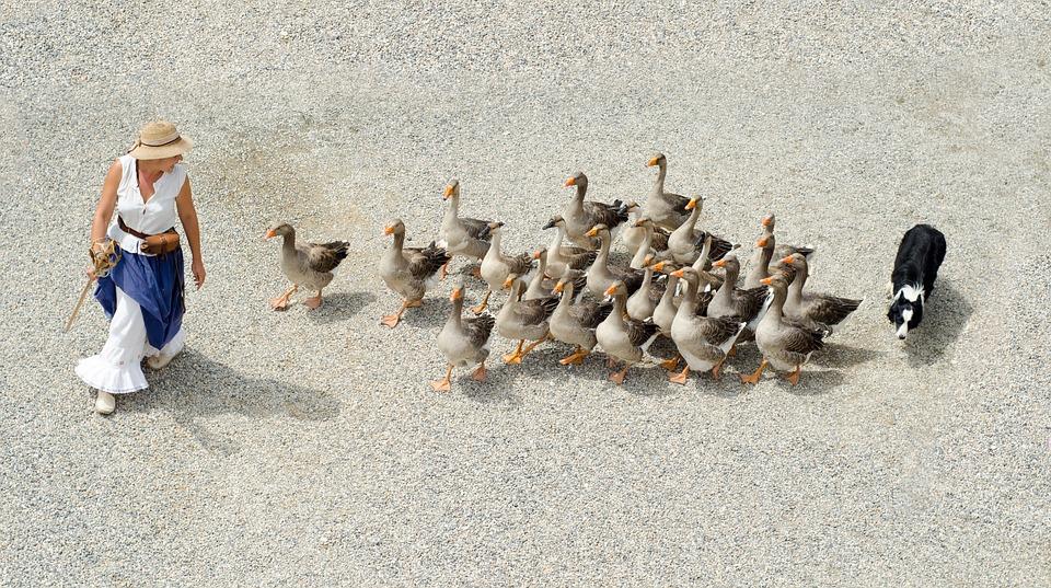 Goose, Geese, Girl, Dog, Shepherd, Herding, Foie Gras