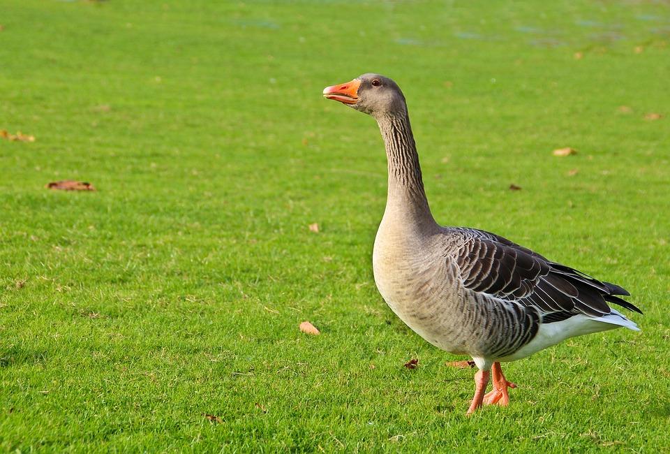Goose, Wild Goose, Animal, Bird, Nature, Geese, Poultry