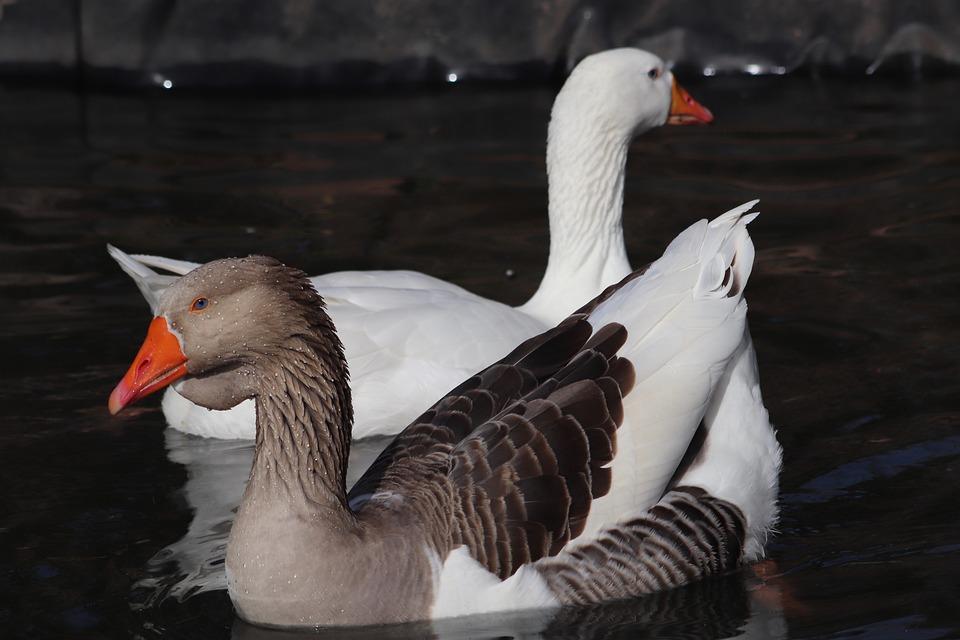 Pet, Water Bird, Goose, Domestic Goose, Ganter, Plumage