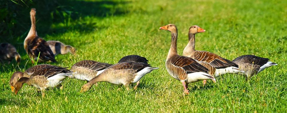 Goose, Waterbird, Waterfowl, Bird, Animal, Plumage