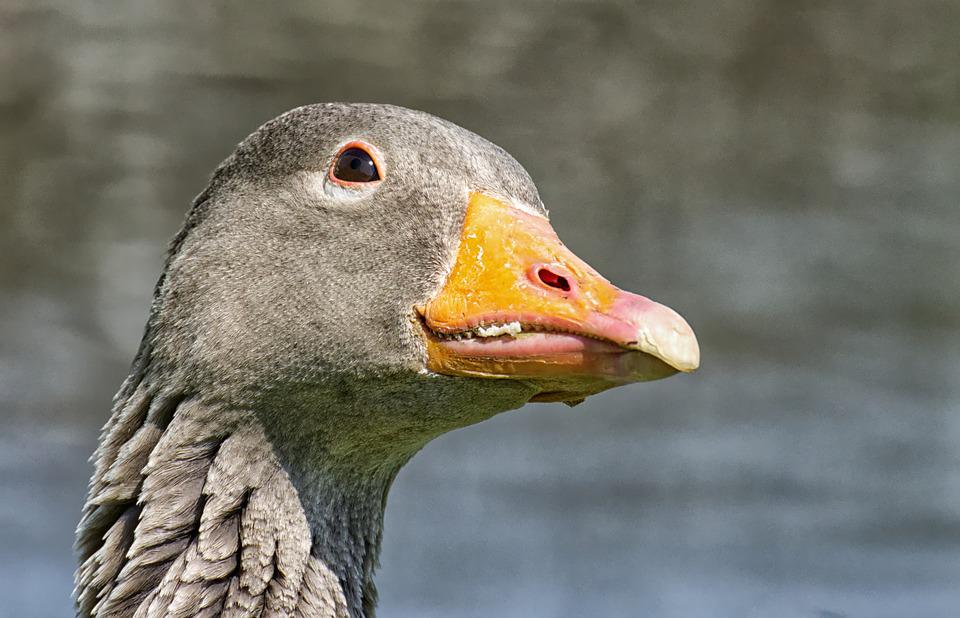 Goose, Water Bird, Attention, Nature, Bird, Poultry