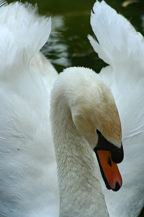 Swan, Bird, Goose, White, Close-up, Feather, Love
