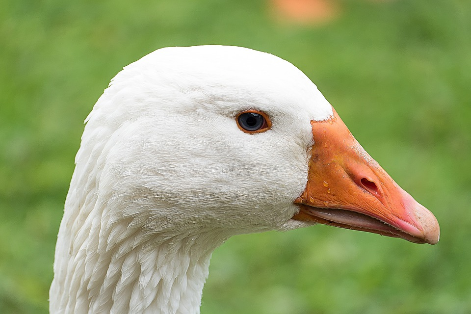 Goose, Bird, White, Water Bird, Poultry, Nature
