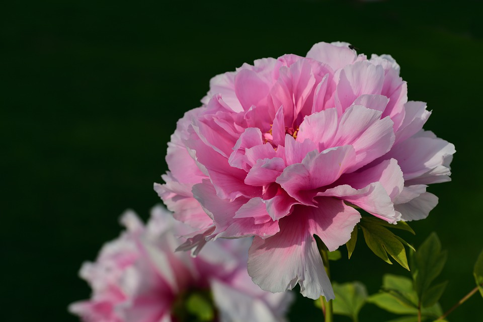 Peony, Blossom, Bloom, Flower, Gorgeous, Summer
