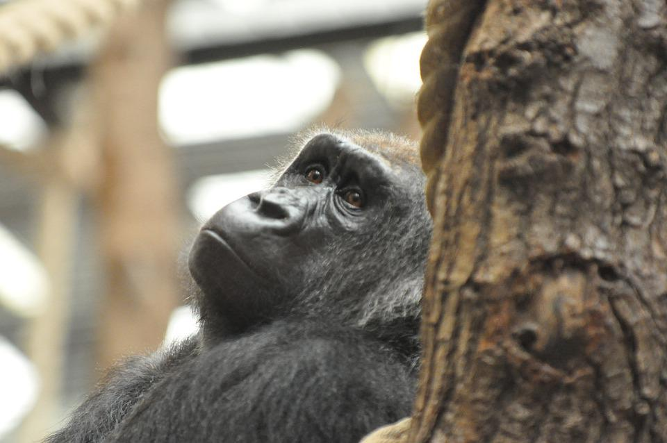 Gorilla, Animal, Zoo, Primate, Ape, Mammal, Wildlife