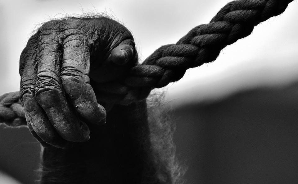 Hand, Monkey, Gorilla, Animal World, Black And White