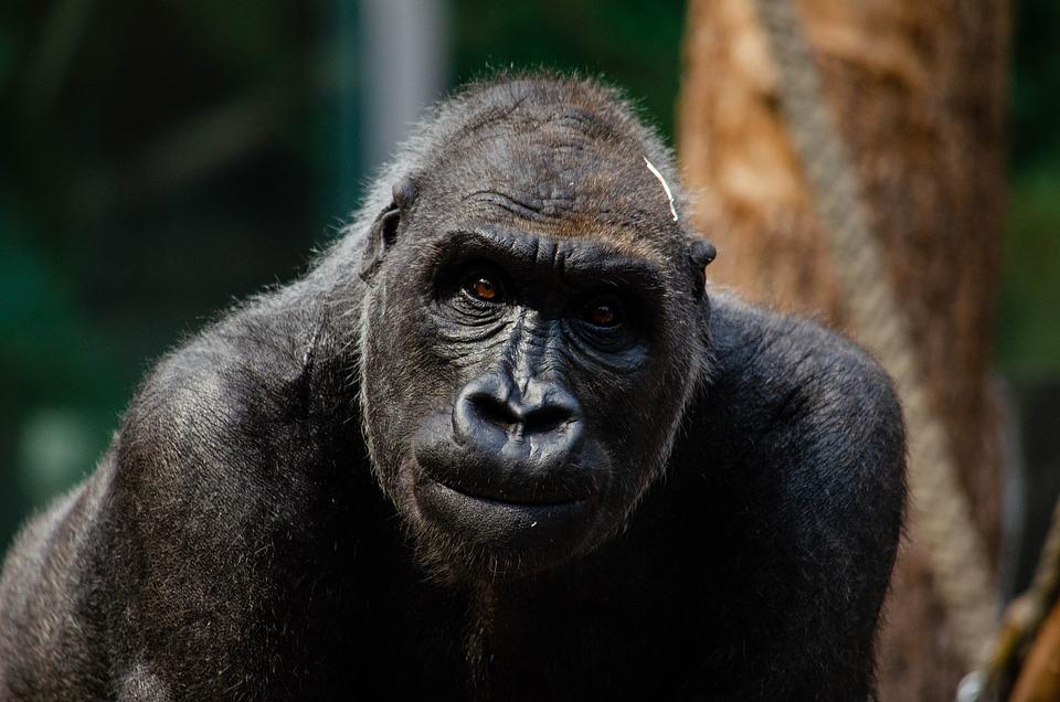 Gorilla, Monkey, Ape, Primate, Mammal, Animal, Dominant