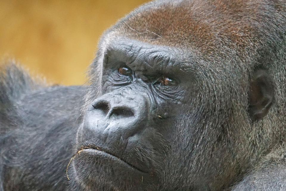 Gorilla, Ape, Close, Mammal, View