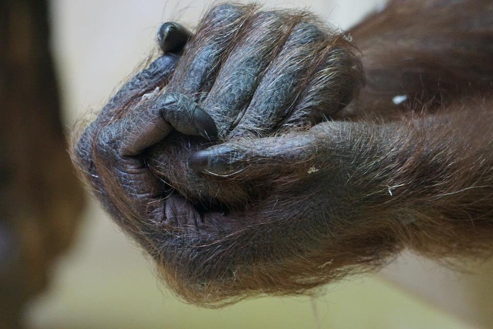 Hands, Gorilla, Close, Ape