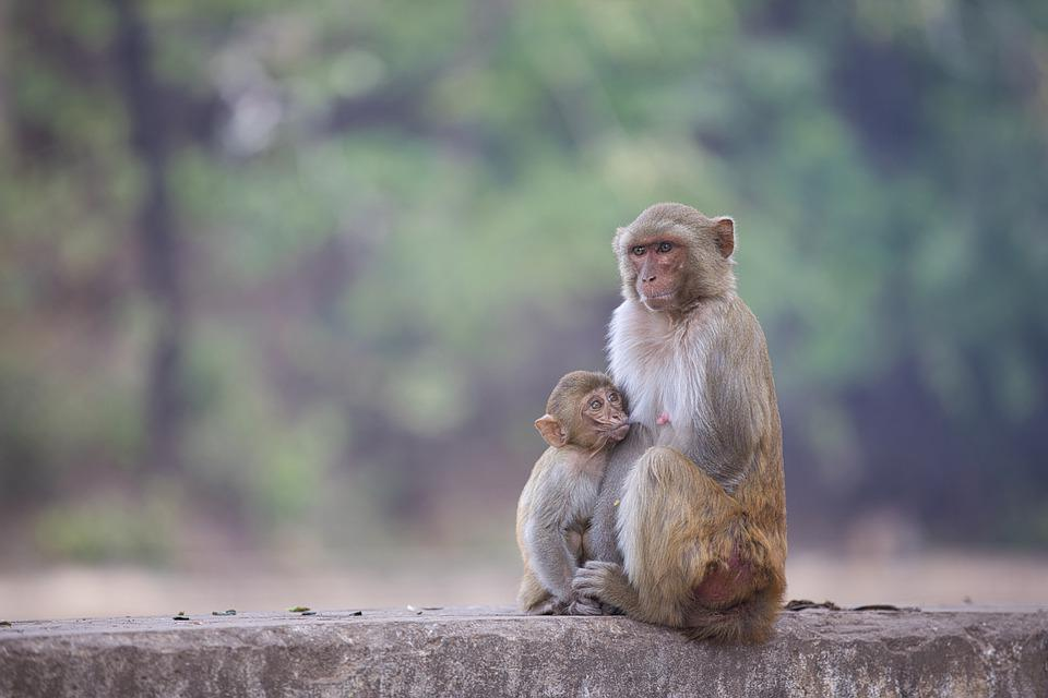 Monkey, Animal, Gorilla, Mammal, Chimpanzee, Zoo