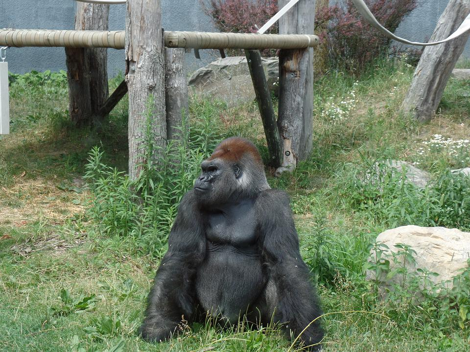 Wild, Gorilla, Zoo, Nature