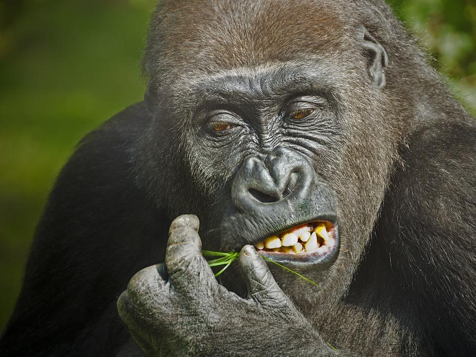 Gorilla, Monkey, Animal, Zoo, Hunger, Boredom