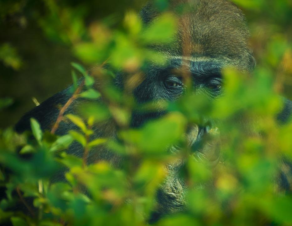 Gorilla, Monkey, Animal World, Zoo