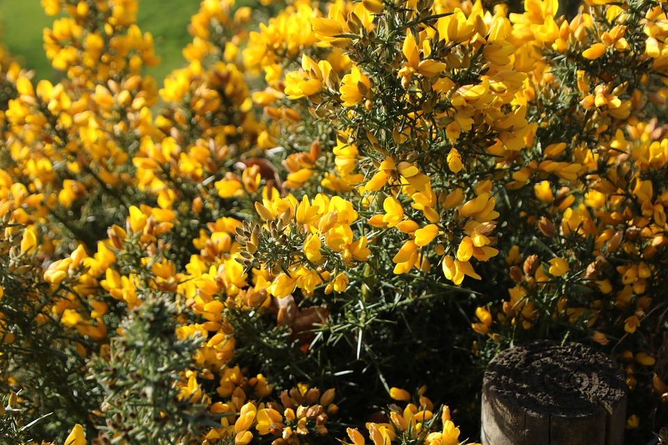 Free photo gorse spiky nature flowers yellow spring pretty max pixel yellow gorse nature pretty spring flowers spiky mightylinksfo