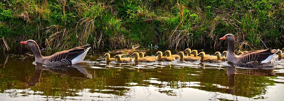 Goose, Water Bird, Animal, Swimming, Gosling, Young