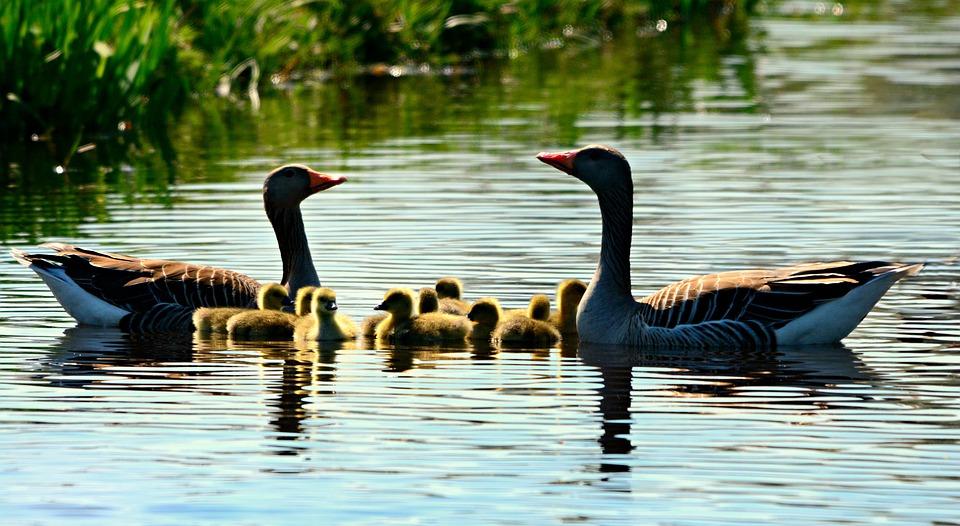 Goose, Gosling, Water Bird, Animal, Swimming, Water
