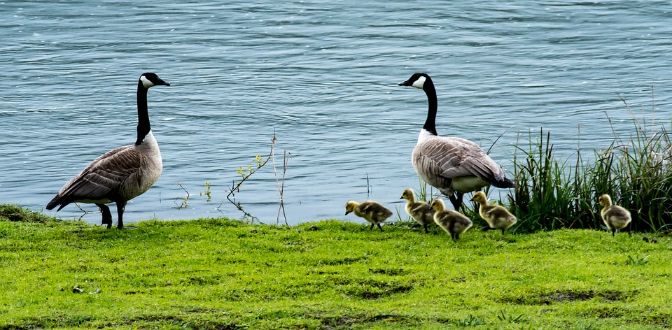 Geese, Family, Baby, Goslings, Young, Nature, Bird