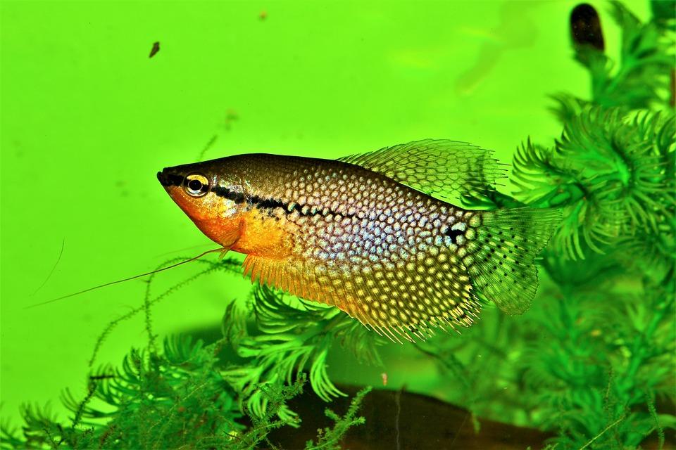 Gourami Pearl, Trichogaster Leeri, Aquarium