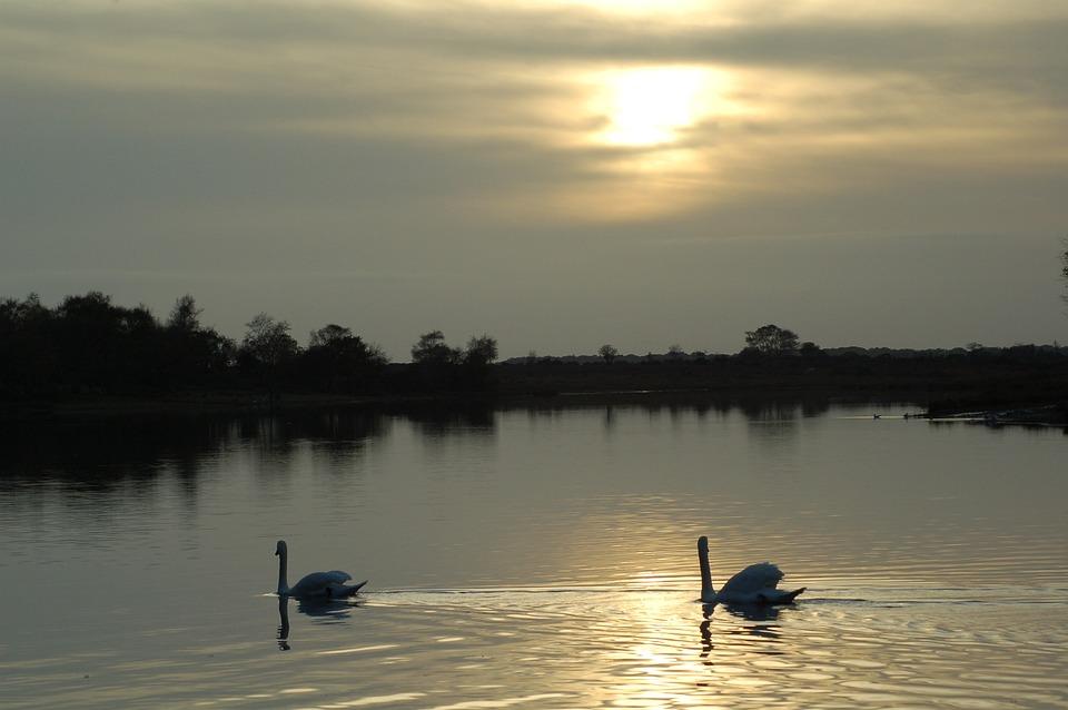 Swan, Lake, Sunset, Reflection, Bird, Calm, Graceful