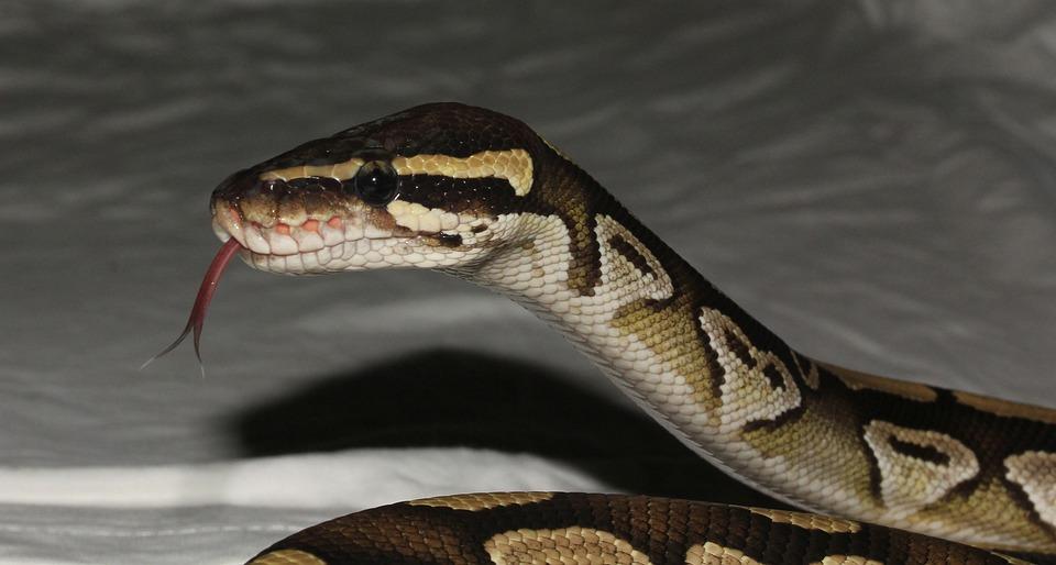 Snake, Phyton, Mojave, Terrarium, Exotic, Graceful