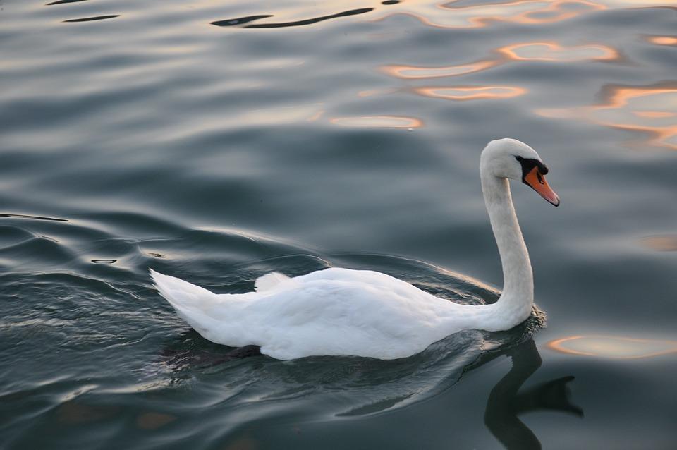 Swan, Bird, Wildlife, Nature, Water, Graceful