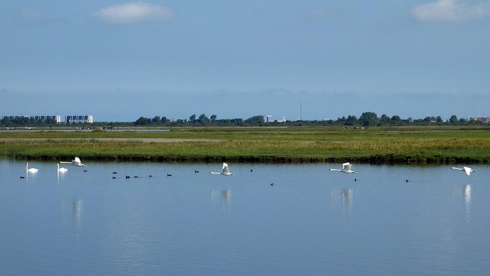 Swans, Birds, Flight, Water Birds, Gracefully