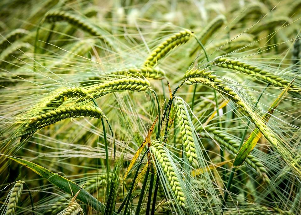 Crop, Barley, Agriculture, Field, Cereals, Grain