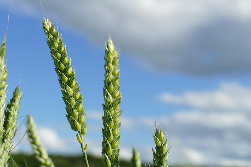 Wheat, Cereals, Grain, Harvest, Agriculture