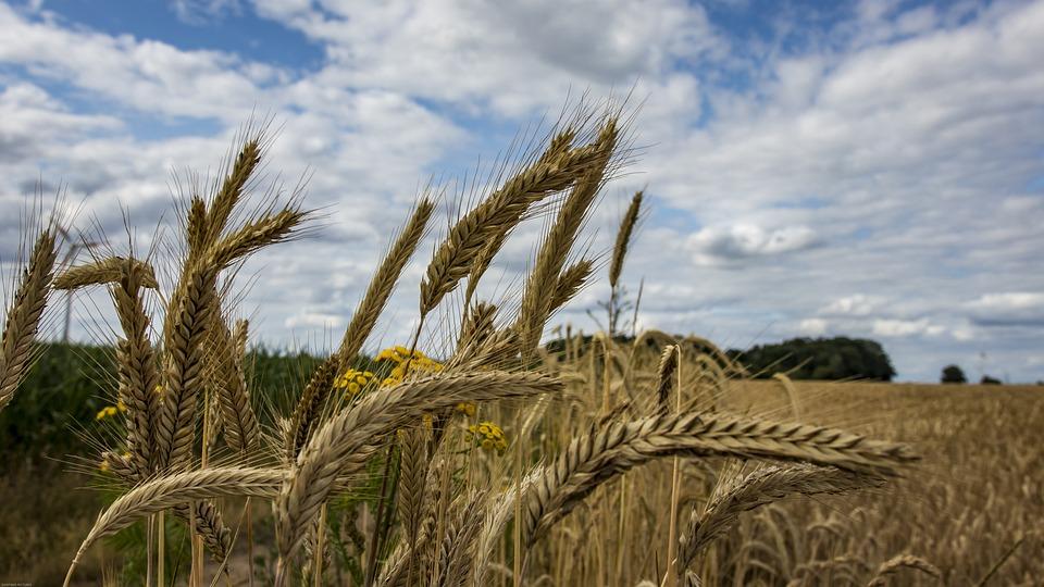 Cornfield, Ear, Cereals, Field, Grain, Agriculture