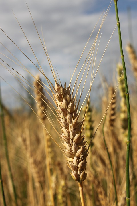 Agriculture, Bread, Cereals, Close-up, Ear, Grain