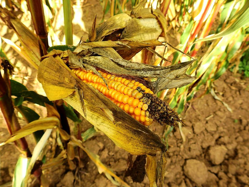 Corn, Ear, Food, Cereals, Agriculture, Grain, Arable