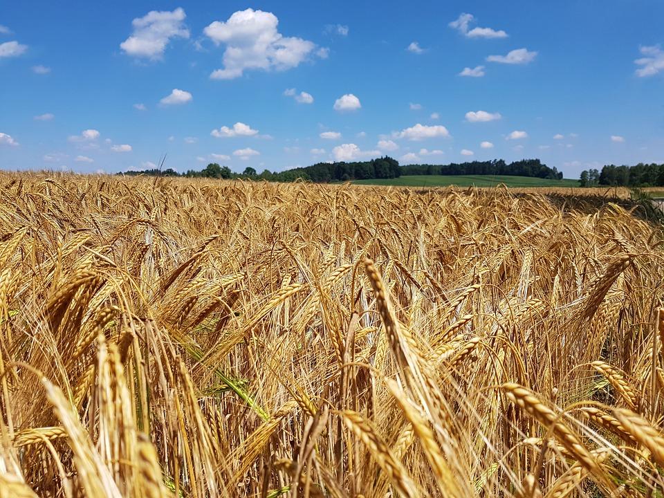 Cornfield, Field, Nature, Summer, Staple Food, Grain