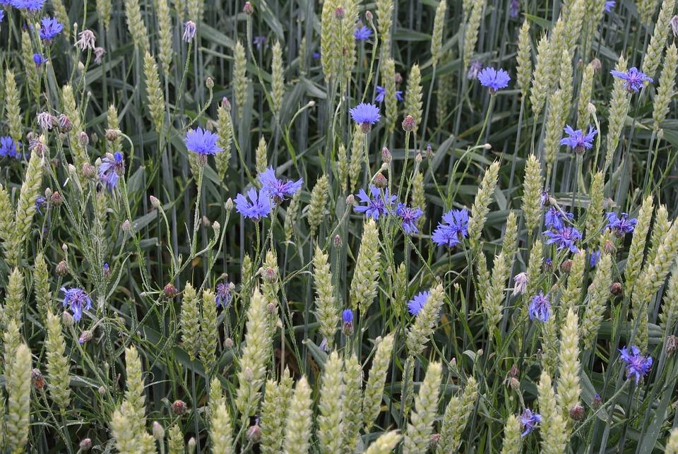 Flowers, Grain, Purple, Cornflowers, Cereals, Cornfield