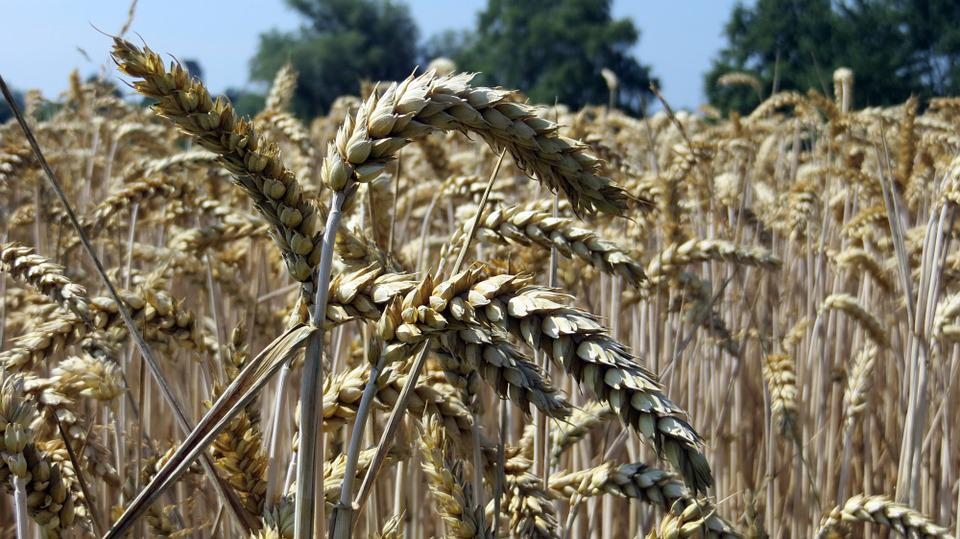 Grain, Cereals, Spike, Food, Fields, Flour, Nature