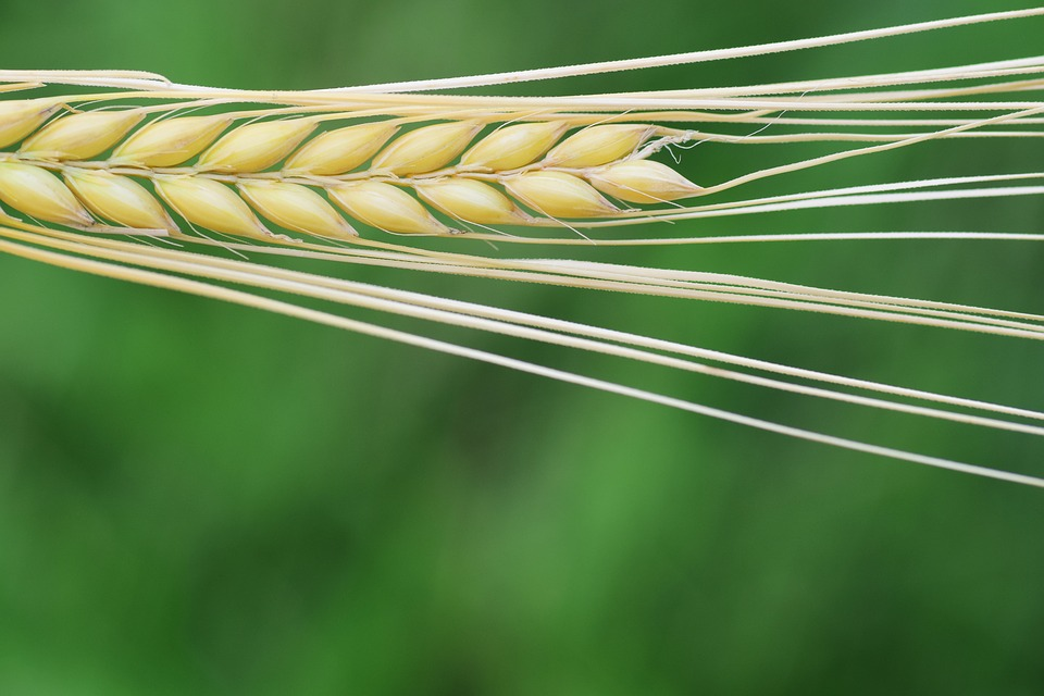 Barley, Cereals, Grain, Nature, Agriculture, Summer