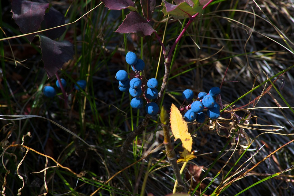 Blue Wild Berries In The Tetons, Blue, Berries, Grand