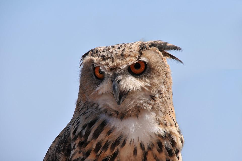 Owl, Grand Duke, Raptor, Bird, Animal, Eyes, Feathers