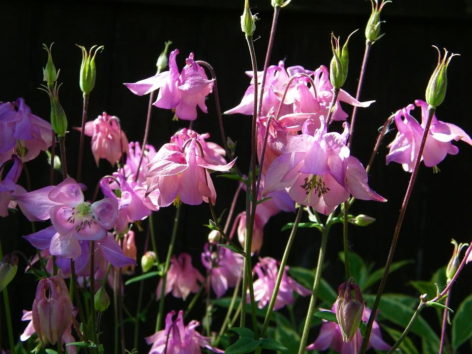 Aquilegia, Flower, Granny's Bonnet, Columbine, Pink