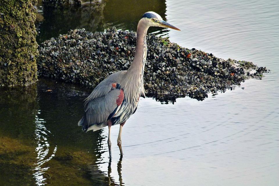 Water Bird, Mussels, Water, Granville Island, Vancouver