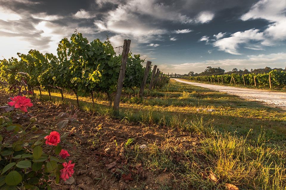 Tuscany, Grape, Field, Nature, Green, Outdoors