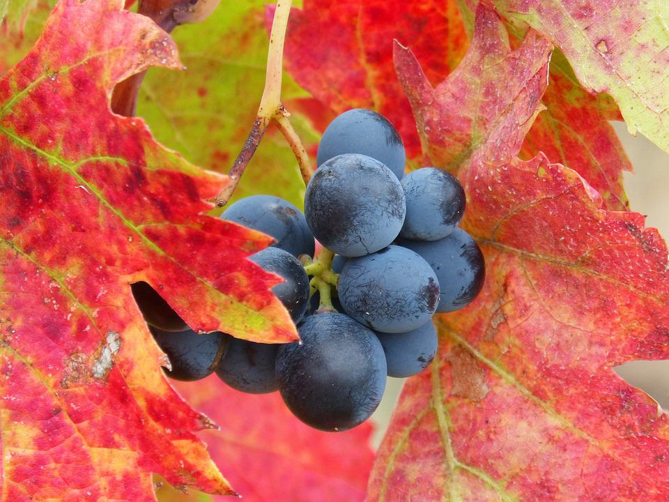 Grape, Priorat, Vineyard, Red Leaves, Autumn